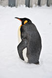 Пингвин Стоковые Изображения RF