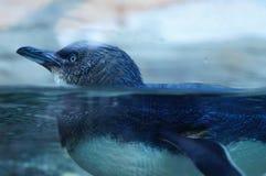 Пингвин Стоковая Фотография