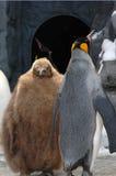 пингвин Стоковые Изображения