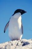 пингвин adelie стоковые изображения