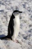 Пингвин Chinstrap - Антарктика Стоковая Фотография