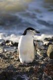 пингвин chinstrap Антарктики Стоковое Изображение RF