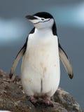 пингвин chinstrap Стоковое Изображение