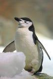 Пингвин Chinstrap Стоковые Фото