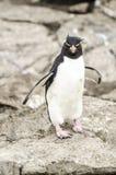 Пингвин Falkland Rockhopper  Стоковая Фотография
