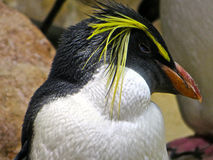 Пингвин Fiordland Стоковое фото RF