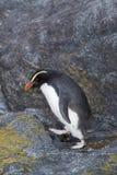 Пингвин Fiordland, pachyrynchus хохлатого пингвина стоковое изображение rf