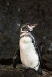 пингвин galapagos Стоковое Изображение RF