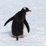Пингвин Gentoo, Антарктика Стоковое Фото
