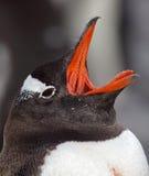 пингвин gentoo Антарктики зевая Стоковая Фотография