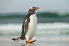 Пингвин Gentoo идя на песочный бечевник океана Стоковые Фото