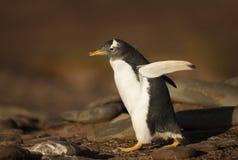 Пингвин Gentoo идя на скалистое побережье Стоковые Изображения RF