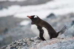 Пингвин Gentoo на гнезде Стоковое Изображение RF