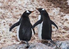 Пингвин Gentoo на утесе Стоковые Фото