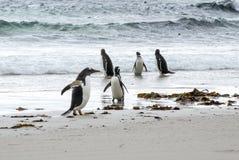 Пингвин Gentoo против пингвина Magellanic - я большле! Стоковые Изображения