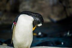 Пингвин Gentoo Стоковое Изображение RF
