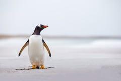 Пингвин Gentoo (Pygoscelis Папуа) стоя самостоятельно на белом песке Стоковое фото RF