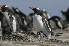 Пингвин Gentoo, Pygoscelis Папуа Стоковые Фотографии RF