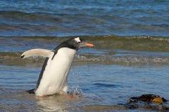 Пингвин Gentoo, Pygoscelis Папуа, Saunders, Фолклендские острова Стоковые Фото