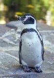 пингвин humboldt Стоковое Фото
