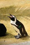 Пингвин Humboldt Стоковое Изображение RF