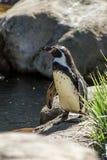 Пингвин Humboldt Стоковые Изображения RF