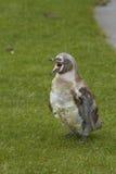 Пингвин Humbolt Стоковая Фотография