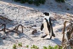 Пингвин Jackass идя в песчанные дюны Стоковые Изображения RF