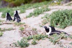 Пингвин Jackass кладя вниз в его гнездо ` s на песчанные дюны Стоковое Изображение RF