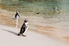 Пингвин Jackass стоя на пляже с другими птицами в воде на заднем плане Стоковые Изображения RF