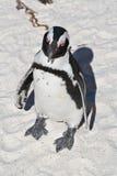 пингвин jackass Стоковое Фото