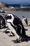 Пингвин Jackass Стоковые Изображения RF