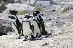 Пингвин Jackass Стоковое Изображение RF