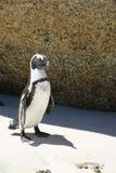 Пингвин Jackass Стоковое Изображение