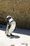 Пингвин Jackass Стоковые Фотографии RF