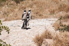 пингвин jackass Стоковые Фото