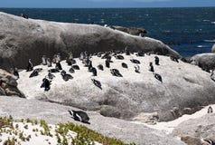 пингвин jackass Стоковая Фотография RF