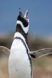 Пингвин Magellan, арены Punta, Чили Стоковое Изображение RF