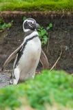 Пингвин Magellan в аренах Punta Стоковая Фотография RF