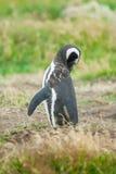 Пингвин Magellan в Чили Стоковые Фото
