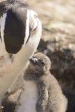 Пингвин Magellan Стоковые Изображения RF