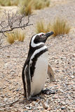 Пингвин Magellanic в одичалой природе. Стоковые Фото