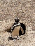 Пингвин Magellanic в степи времени Patagonia.Reproductive. Стоковое Изображение