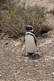 Пингвин Magellanic в степи Патагонии Стоковая Фотография