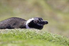 Пингвин Magellanic лежа снаружи оно роет Фолклендские острова Стоковое Изображение