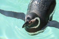 Пингвин Magellanic заплывания Стоковые Фотографии RF