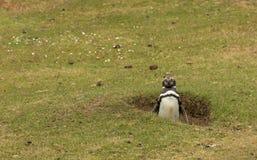 Пингвин Magellanic стоя в своем роет Стоковые Фотографии RF