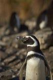 Пингвин Magellanic - Фолклендские острова Стоковое Изображение