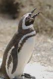 Пингвин Magellanic Стоковое Изображение