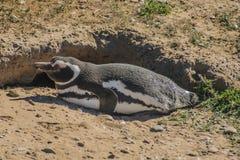 Пингвин Magellanic Стоковые Фото